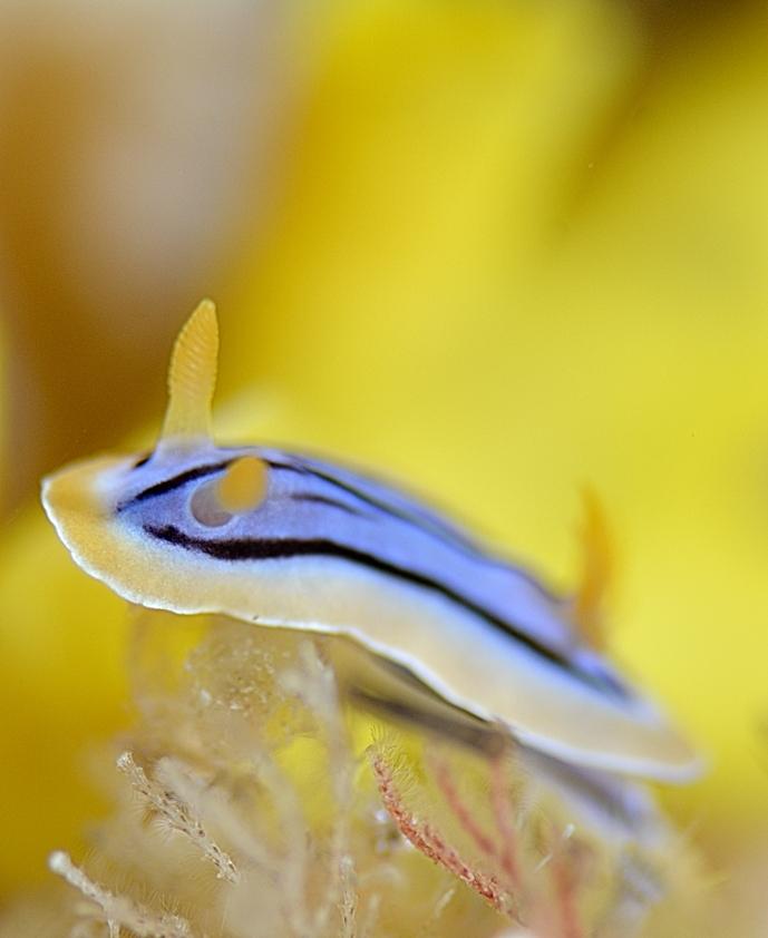 キベリクロスジウミウシ
