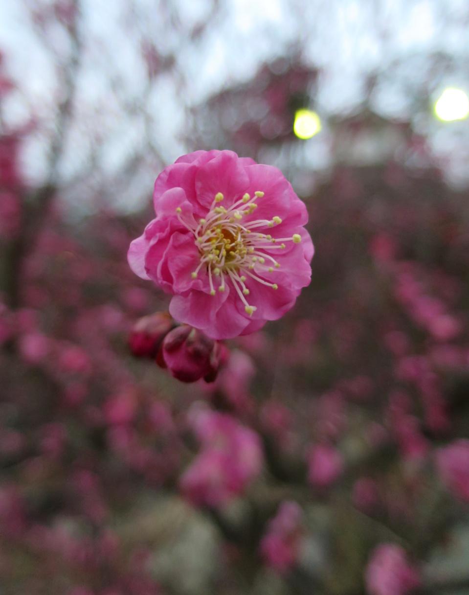小田原城 梅 河津桜
