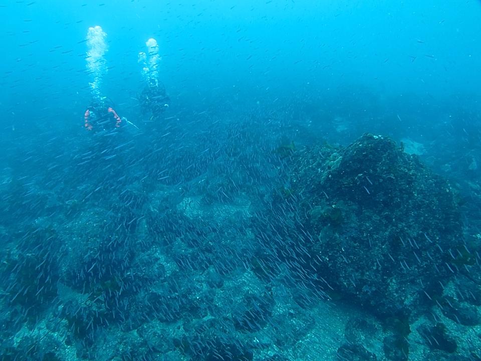 江の浦 ダイビング イワシ