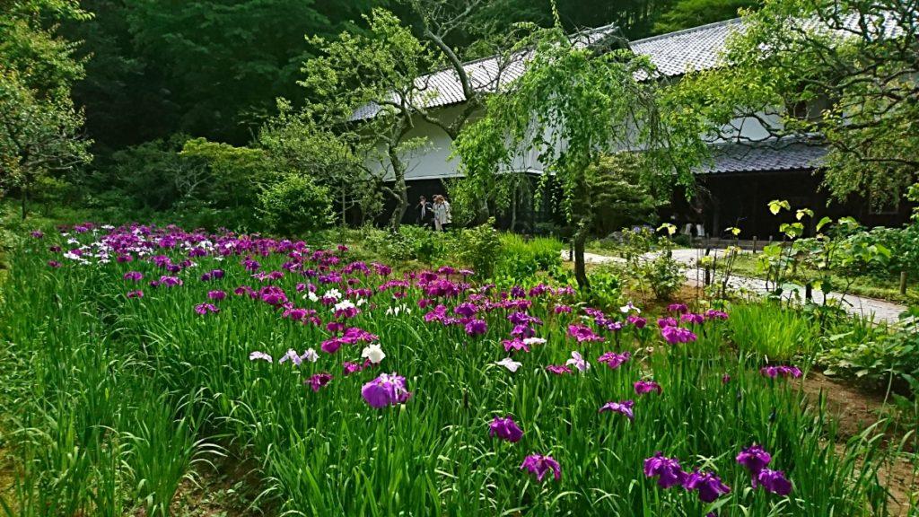 東慶寺 北鎌倉 しょうぶ 菖蒲
