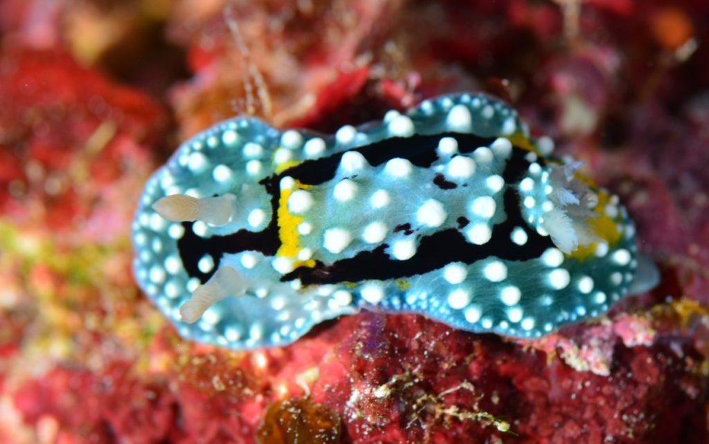 シモフリカメサンウミウシ 久米島