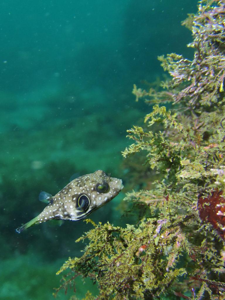 サザナミフグ 幼魚