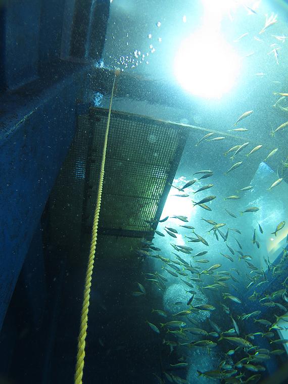 千葉みなと 大型水槽 ダイビング スキンダイビング ウミガメ