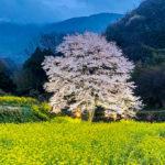 秦野 淡墨桜