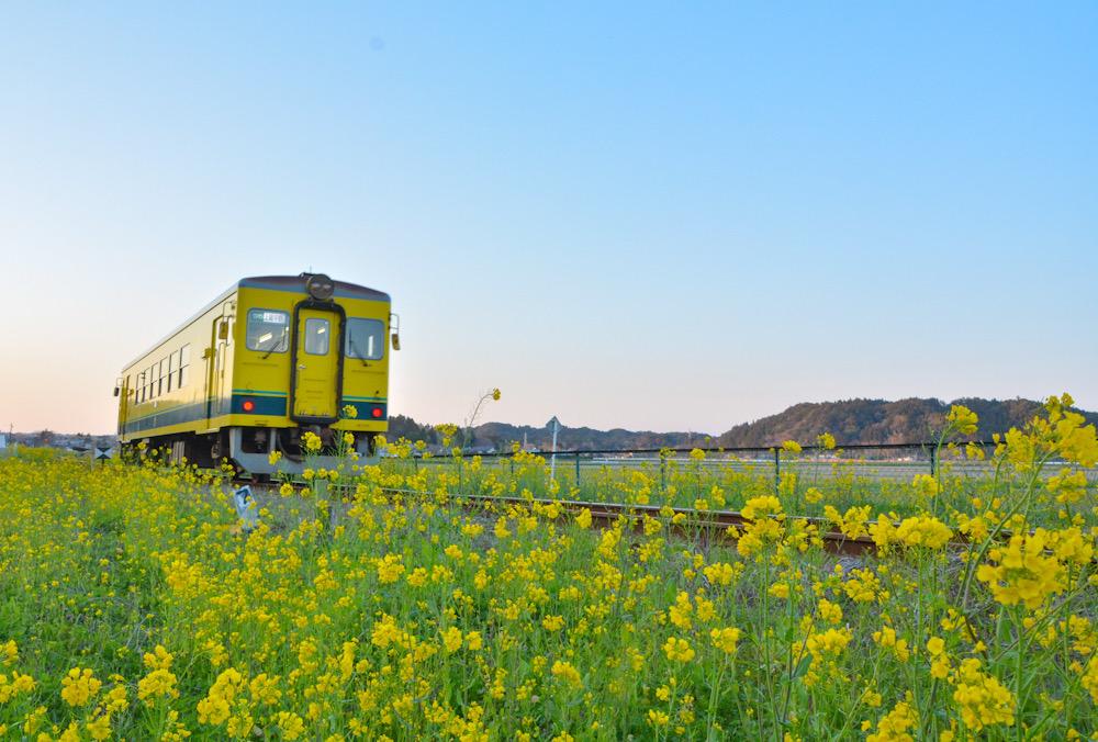 いすみ鉄道 千葉県 菜の花