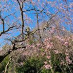岩 真鶴 桜