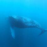ザトウクジラ 伊豆 富戸 2020年