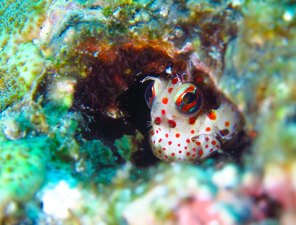 ダイビング 西表島 神奈川 ツアー サンゴ モンツキカエルウオ