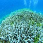 西表島 ダイビング サンゴ 珊瑚
