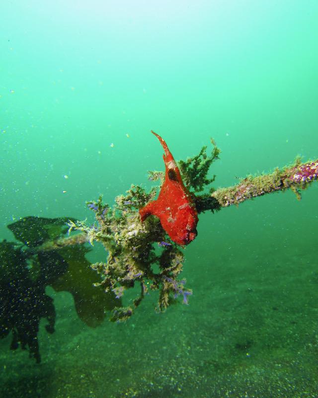 水中写真 ダイビング 講習 デジカメ 撮り方 インストラクター カエルアンコウ
