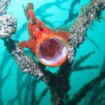 岩 カエルアンコウ ダイビング 真鶴
