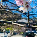田子 狂い咲き 桜
