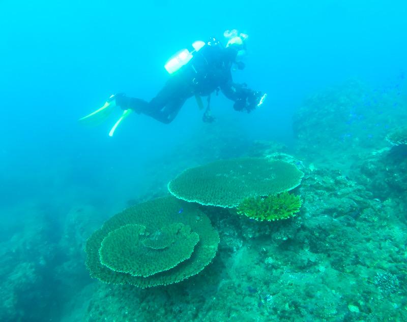 サンゴ 珊瑚 伊豆 田子 ダイビング