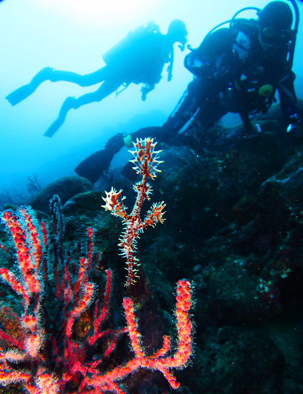 ニシキフウライウオ 初島 ダイビング