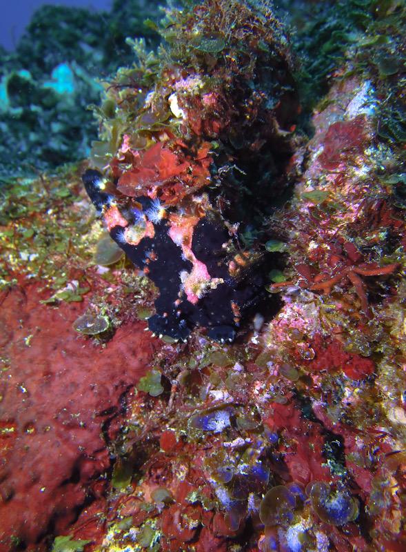 クロクマ クマドリカエルアンコウ 初島 ダイビング
