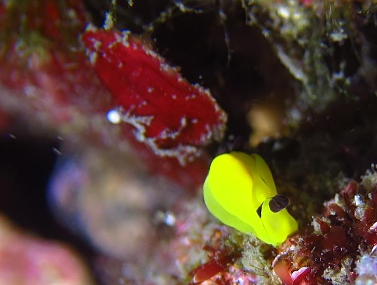 江の浦 ダイビング ビーチポイント 生物情報 キイロウミコチョウ