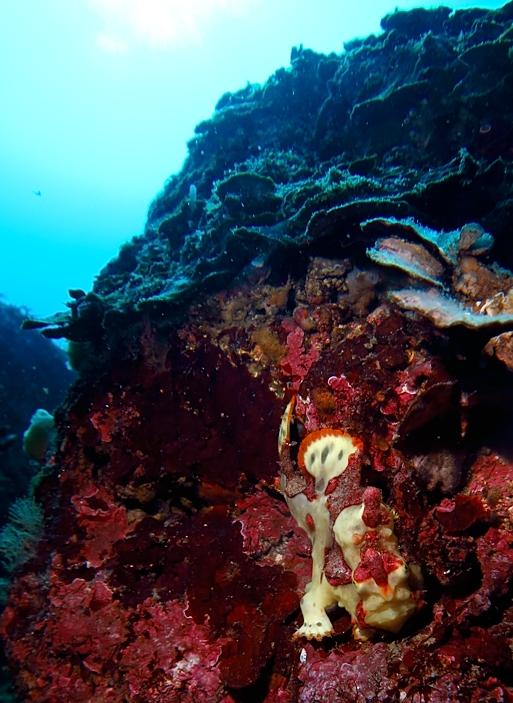 江の浦 ダイビング ビーチポイント 生物情報 クマドリカエルアンコウ