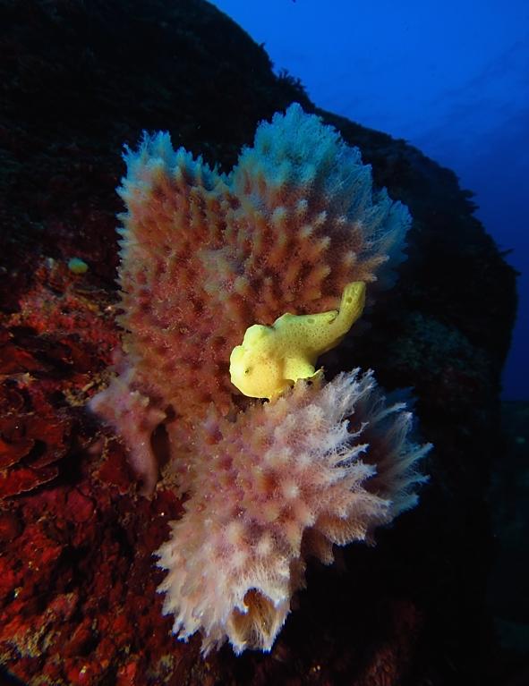 江の浦 ダイビング ビーチポイント 生物情報 カエルアンコウ