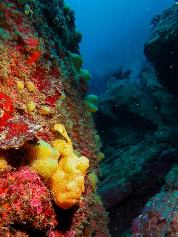 江の浦 ダイビング カエルアンコウ
