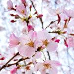 桜 春分の日