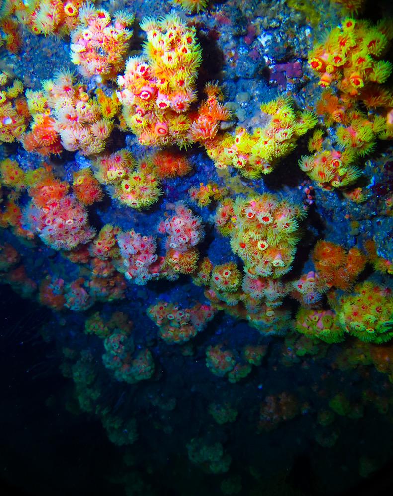 逗子 ダイビング サンゴ 珊瑚