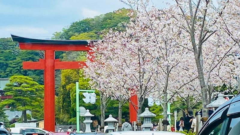 鎌倉 桜 八幡宮 段葛 2021