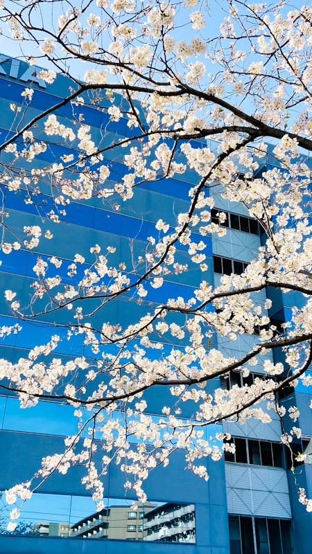 大船 桜 桜並木