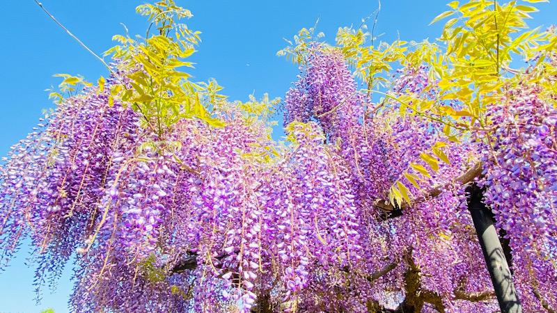 横須賀 しょうぶ園 藤の花