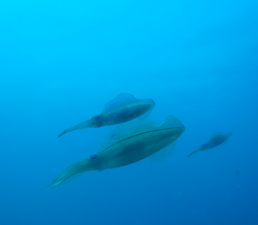アオリイカ ダイビング 江の浦