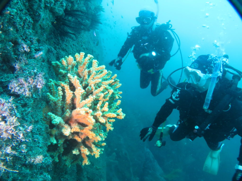 逗子 ダイビング オノミチキサンゴ