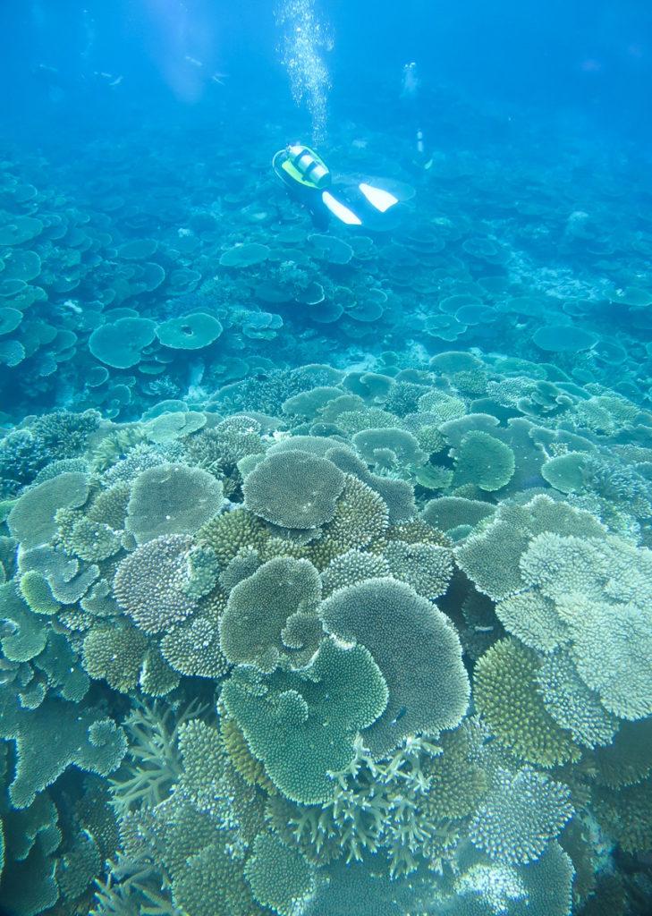 西表島 鳩間島 テーブルサンゴ ダイビング