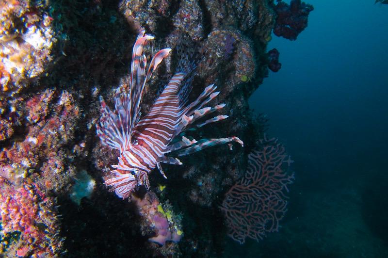 熱海 ダイビング ミノカサゴ