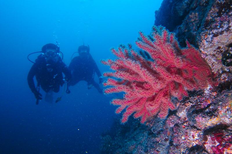 熱海 ダイビング ソフトコーラル