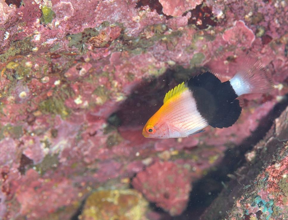 キツネベラ 幼魚