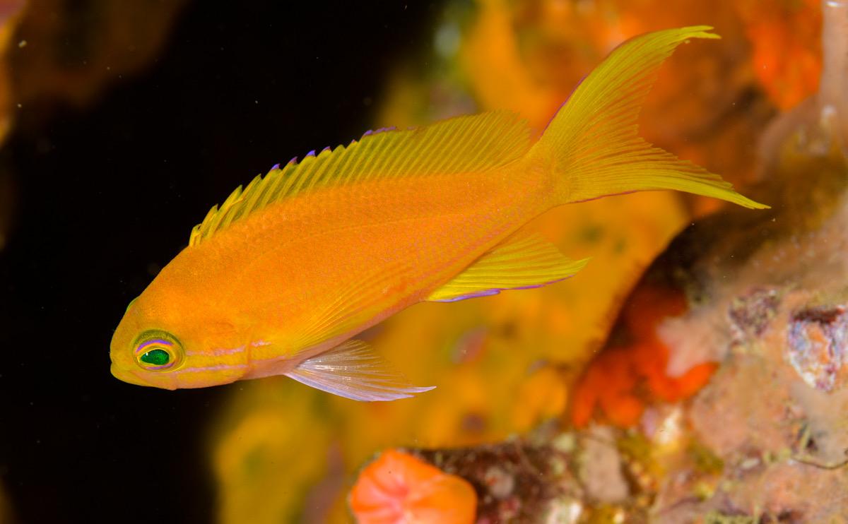 スミレナガハナダイ 串本 幼魚 メス