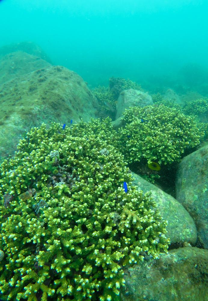 平沢 ダイビング サンゴ