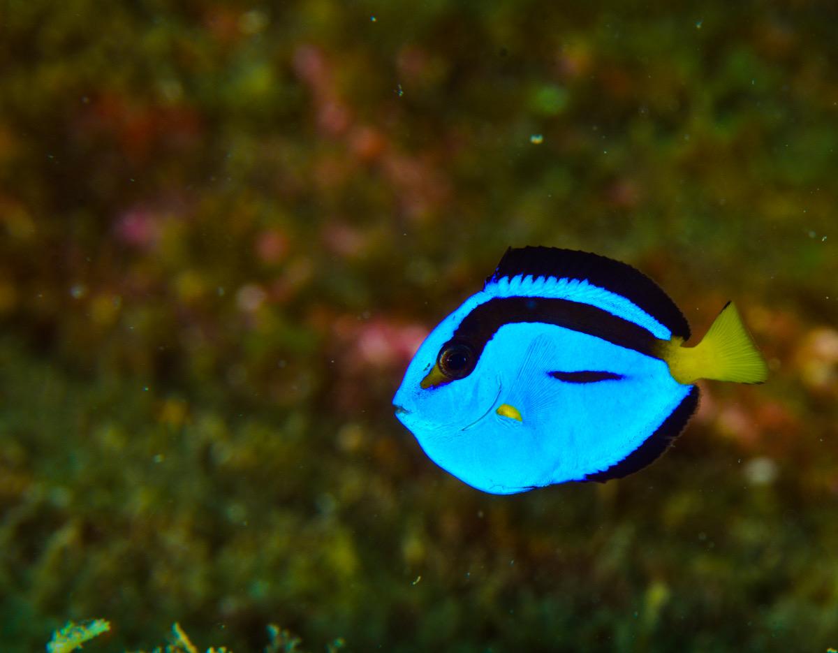 ナンヨウハギ 幼魚 串本 ダイビング