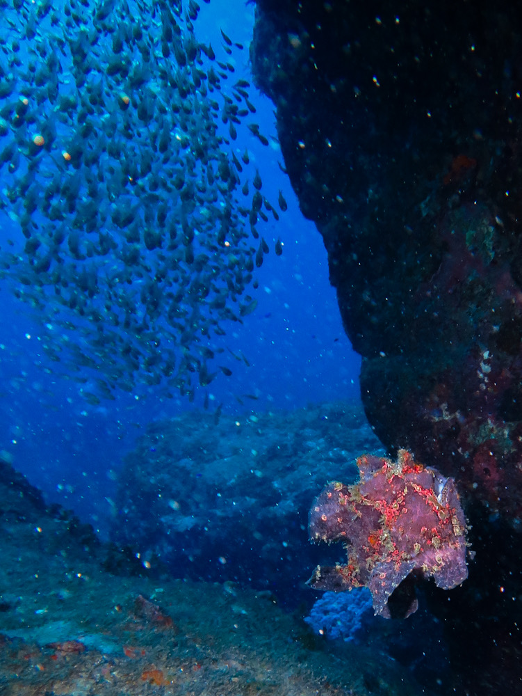 カエルアンコウ 串本 ダイビング