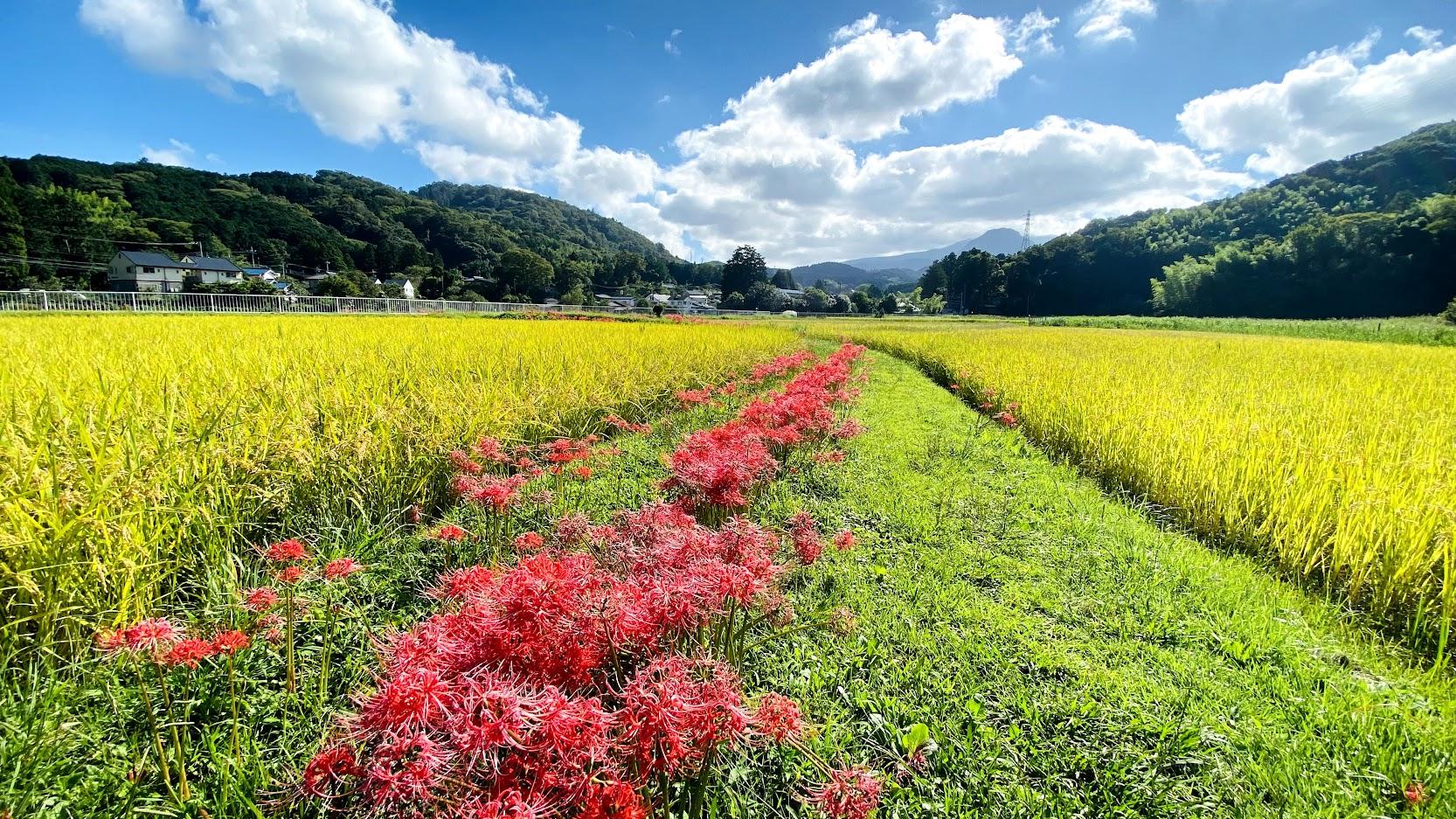 彼岸花 ヒガンバナ 秋の花 稲穂