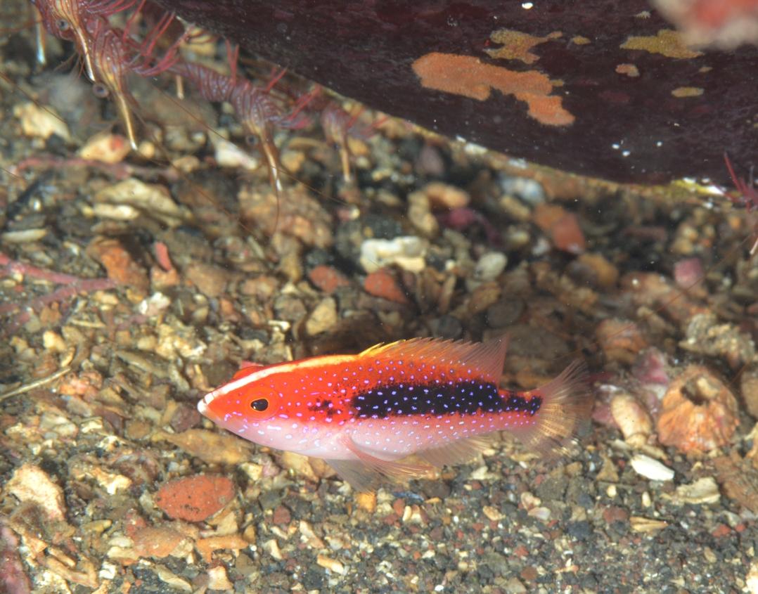 バラハタ 幼魚